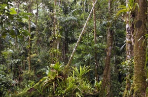 11143769 - amazonian rainforest in ecuador with many bromeliads in foreground